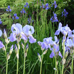 blue irises in the garden
